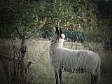 Lietuvos juodgalvė avis skina obuolius