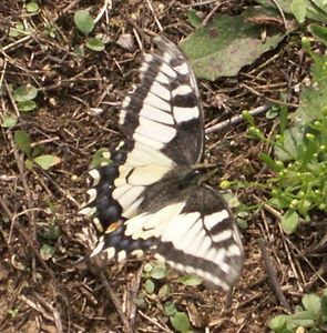 (Papilio machaon (L., 1758))