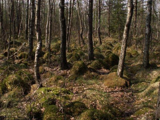 Pelkinis miškas / Moorwald / Bog woodland
