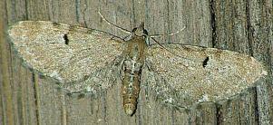 (Eupithecia assimilata (Doubleday, 1856))