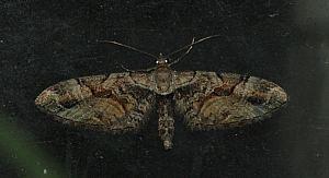 (Eupithecia sinuosaria (Eversmann, 1848))