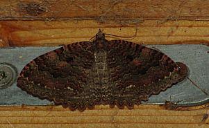 (Triphosa dubitata (L., 1758))