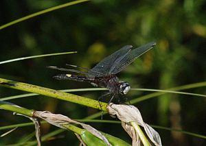 (Leucorrhinia pectoralis (Charpentier, 1825))