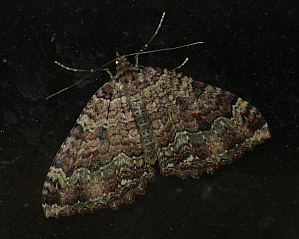 Triphosa dubitata (L., 1758)