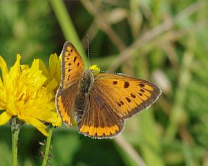 Lycaena dispar (Haworth, 1802)