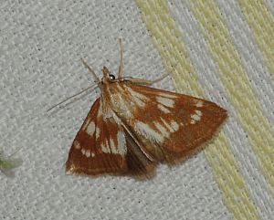 (Epascestria pustulalis (Hübner, 1823))