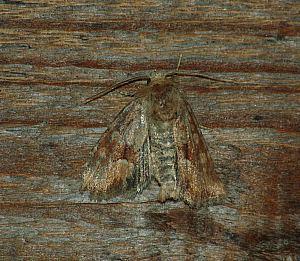 Oligia fasciuncula (Haworth, 1809)