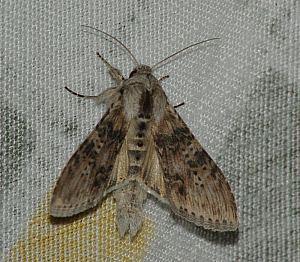 Cucullia absinthia