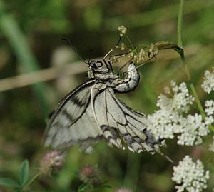 Papilio machaon (L., 1758)