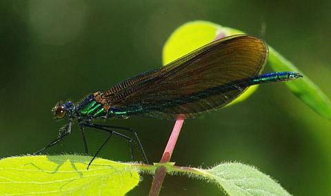 (Calopteryx virgo)
