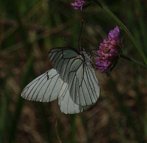 (Aporia crataegi (L., 1758))