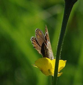Coenonympha hero