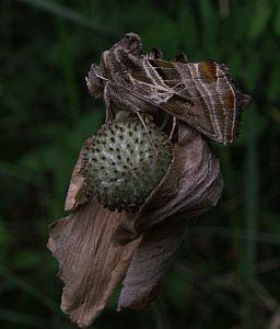(Euchalcia modestoides (Poole, 1989))