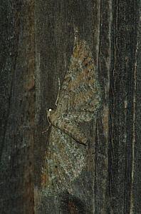 Eupithecia millefoliata (Rössler, 1866)
