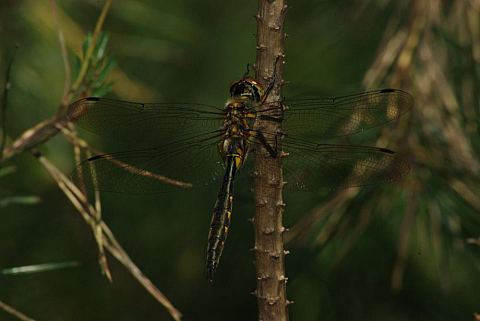 (Somatochlora flavomaculata)