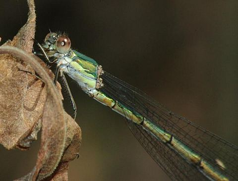 (Chalco)Lestes viridis