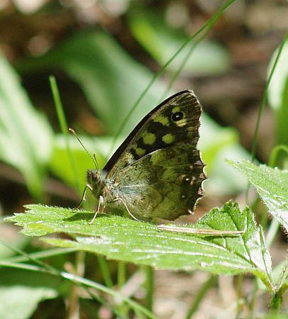(Pararge aegeria (L., 1758))