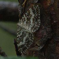 Epirrhoe tartuensis