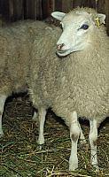 Avis skudė