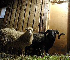 Skudės avys tvarte