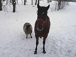 Iš kairės į dešinę: žemaitukė Kaštonė, juodgalvė avis