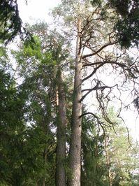 Double pine
